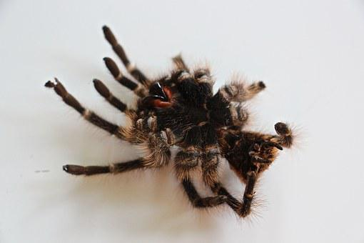 Tarantula, Skin, Hair, Nasty, Fear, Spider, Large