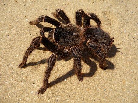 Tarantula, Spider, Brazilian Parahybana, Hairy, Insect
