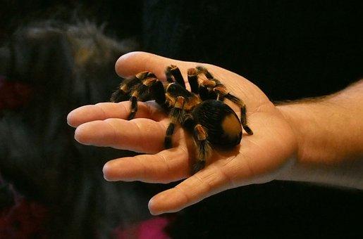 Spider, Tarantula, Arachnophobia, Overcoming Fear
