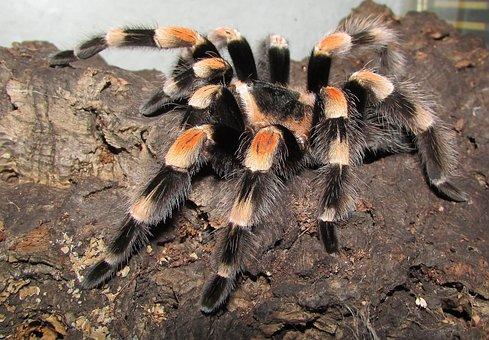 Tarantula, Rotfußvogelspinne, Spider