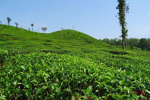 Tea Garden, Tea, Plant, Plantation, Estate