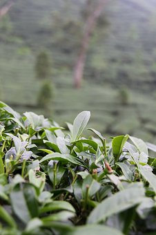 Taiwan, Tee, Plantation, Green Tea, Tea Plantation