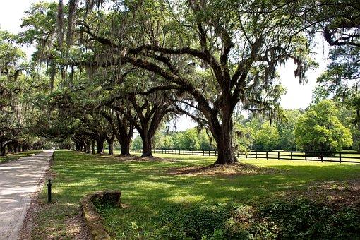 Plantation, Lane, Tree, Spanish Moss, Road, Nature