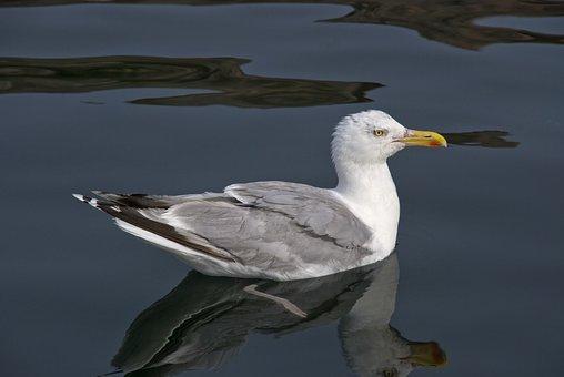 Trut, Seagull, Seabird, The West Coast, Sea, Sweden