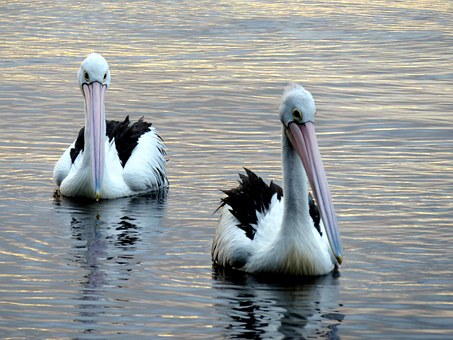 Pelicans, Lake, Peaceful, Wildlife, Nature, Animal