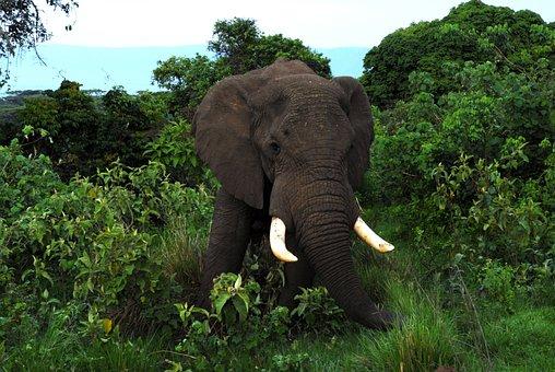 Elephants, Black, Large, Animals, Mammals, Big, Forest
