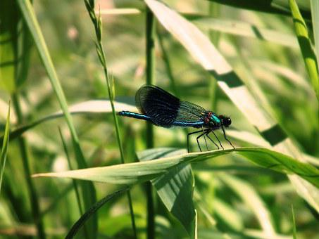 Dragonfly, Insect, Halm, Grass, Bank, Water, River