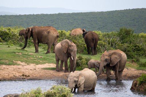 Elephants, Bathing, Wildlife, Addo, South Africa, Water
