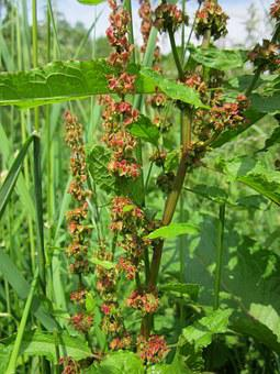 Rumex Obtusifolius, Broad-leaved Dock, Bitter Dock