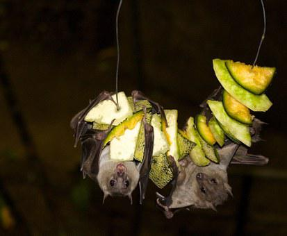 Fruit Bat, Bat, Jungle, Nocturnal, Black Fruits