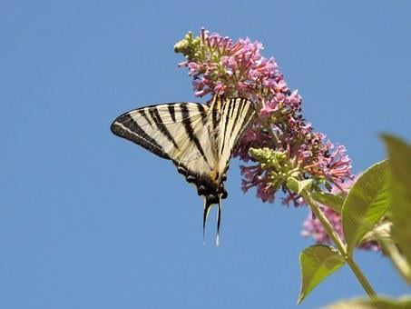 Butterfly, Wings, Sky, Flower, Buddleia, Flight, Europe