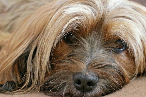 Animal, Dog, Tibetan Terrier, Tibet, Terrier, Portrait