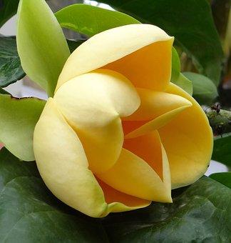 Egg Magnolia, Magnolia Liliifera, Flower, Tropical