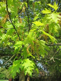 Quercus Coccinea, Scarlet Oak, Tree, Flora, Botany