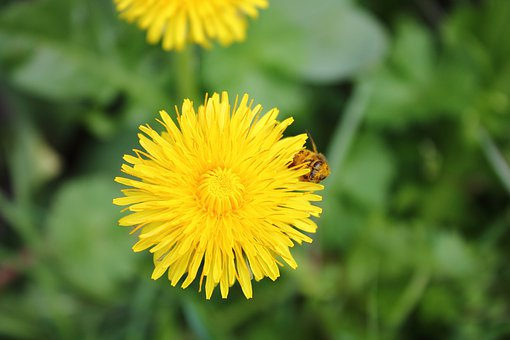 Dandelion, Bee, Floral Dust, Dust, Sonchus Oleraceus