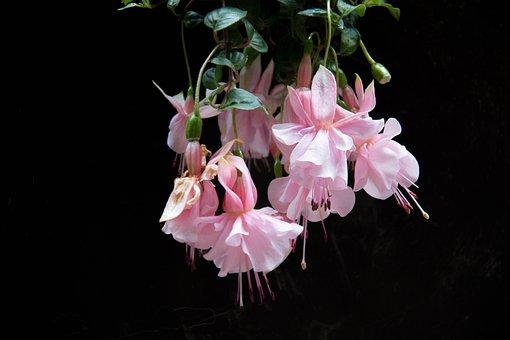 Fushia, Flower, Spring, Color Pink, Garden