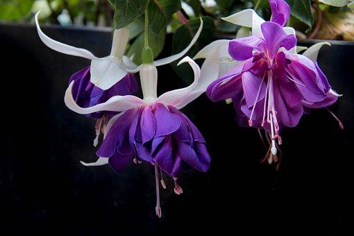 Fushia, Flower, Spring, Fushia Color, Garden
