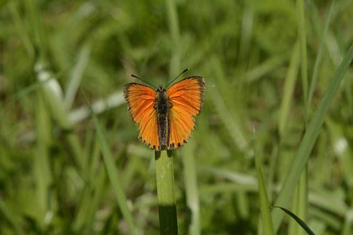 Grass, Sajid, Butterfly, Orange, Nature