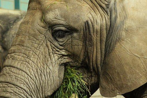 Elephant, Eat, Grass, Pachyderm, Zoo, Grey