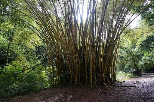 Bamboo, Forest, Hawaii