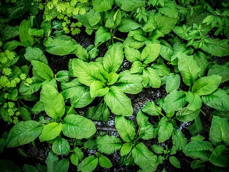 Large Broad Leaf, Plant Leaves, Lush Colorful Green