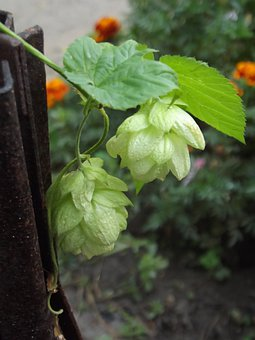 Hops, Leaves, Garden