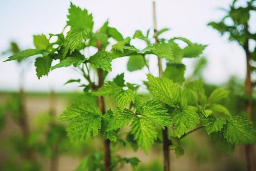 Raspberry, Young, New, Spring, Leaf, Leaves, Fruits