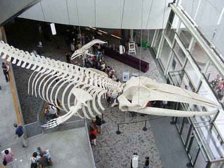 Stralsund, Ozeaneum, Whale Skeleton, Entrance Hall