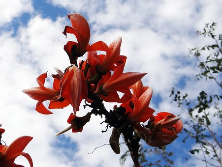 Butea Monosperma, Palash, Flame Of The Forest, India
