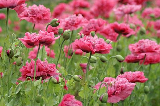 Pink, Pink Flower, Love, Flowers, Pink Flowers, Garden