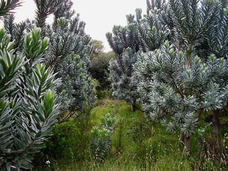 Silver Trees, Nursery, Plants, Foliage, Nature, Outside