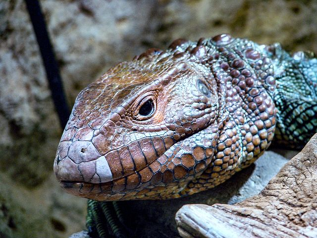 Lizard, Red, Scales, Eye, Nature, Reptile, Animal
