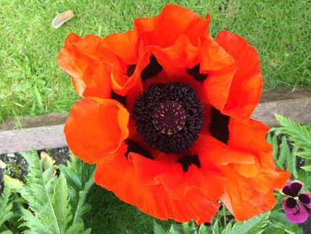 Giant Poppy, English Poppy, Red Poppy, Flower, Garden