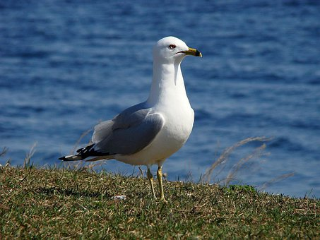 Gull, Seagull, Seabird, Laridae, Bird, Mew