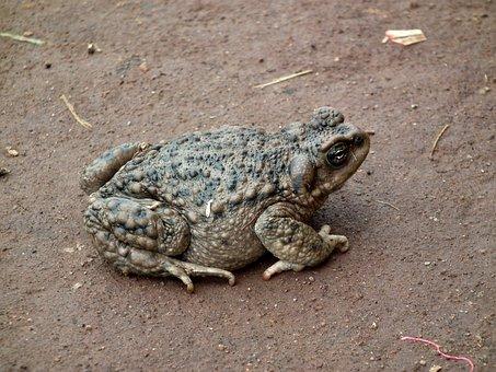 Toad, Soil, Skin Of Toad, Animal