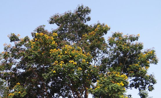 Peltophorum Pterocarpum, Copperpod, Tree, Flowers