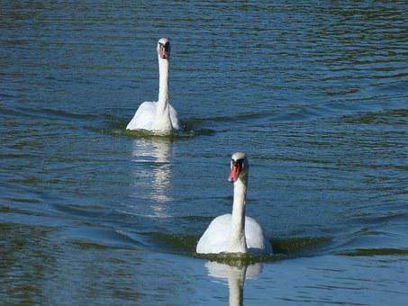 Swans, Water, Birds, Afloat, Pond, White