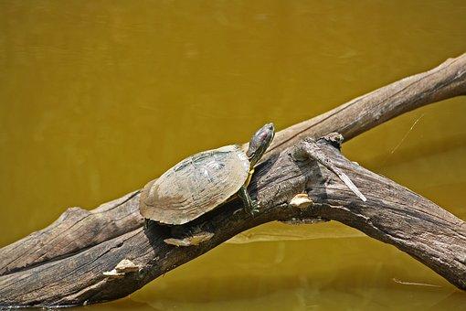 Turtle, Box, Water, Wildlife, Animal, Swim