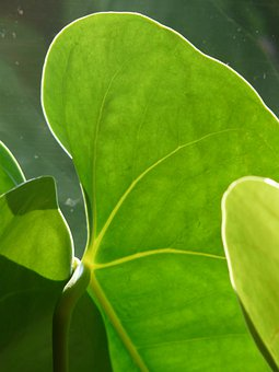 Leaf, Flamingo Flower, Anthurium, Plant