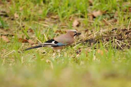 Jay, Bird, Green, Autumn, Feather, Meadow, Foraging
