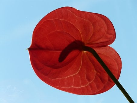 Flamingo Flower, Anthurium, Red, Blossom, Bloom, Flower