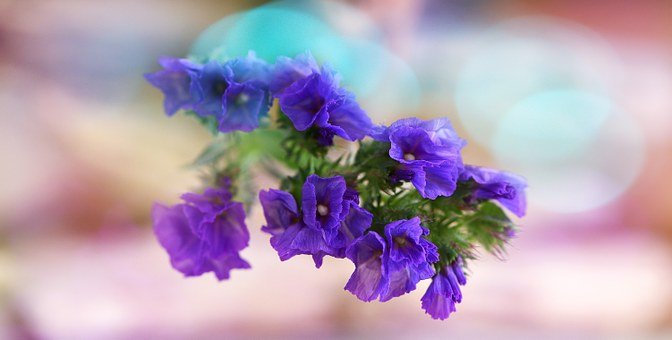 Statice Sinuatum Blue, Sea, Flower, Flowers, Blue