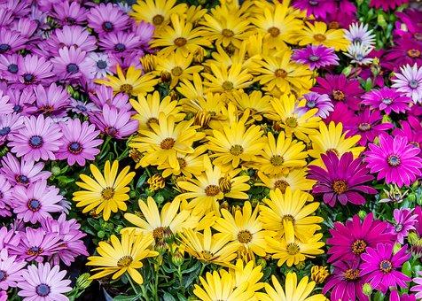 Osteospernum, Bornholm Marguerite, Flower, Blossom