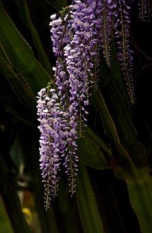 Glycine, Cactus, Flower, Blue, Spring, Garden