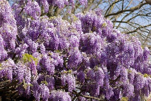 Glycine, Tree, Clusters, Purple, Flowers