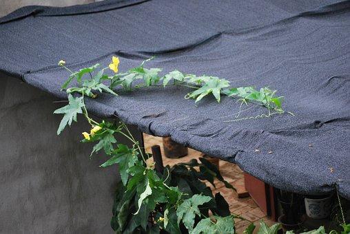 Vine, Squash, Creeping, Growing, Food, Plant, Blossom