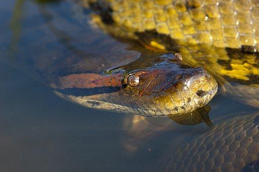 Anaconda, Reptile, Snake, Head, Eye, Llanos