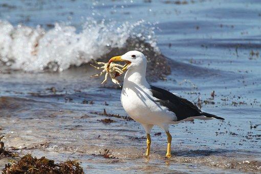Sea, Birds, Albatross, Crab, Food, Lunch, Beach, Water