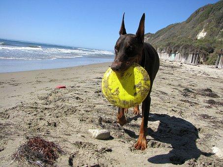 Doberman, Dog, Pet, Animal, Purebred, Frisbee, Beach