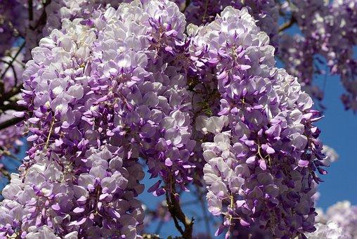 Glycine, Flowers, Purple, Spring